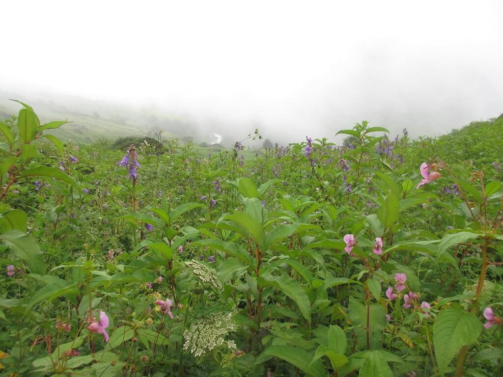 a very beautiful view of himalayan bell flower, valley of flower trek