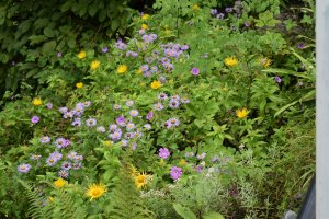 Utttarakhand Trip Trek:  aster-albescens-in-valley-of-flowers-uttarakhand