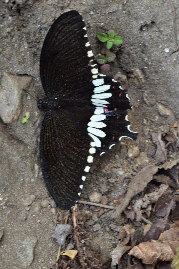 butterfly on kuari pass trek