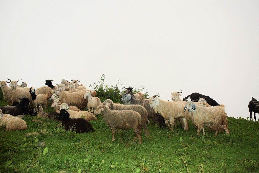 sheeps on the route of nag tibba trek