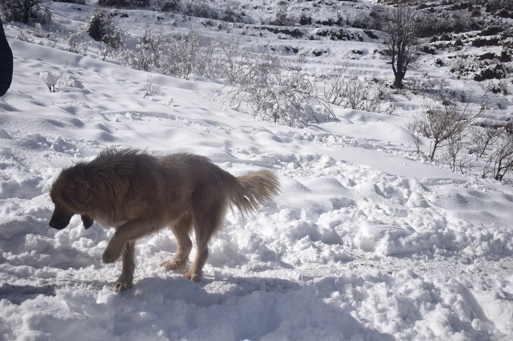 Dog on kedarkantha trek