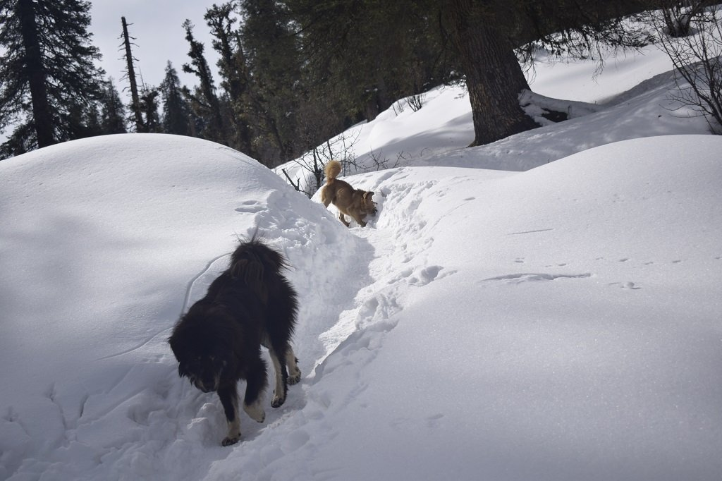 DOGS ON KEDARKANTHA TREK