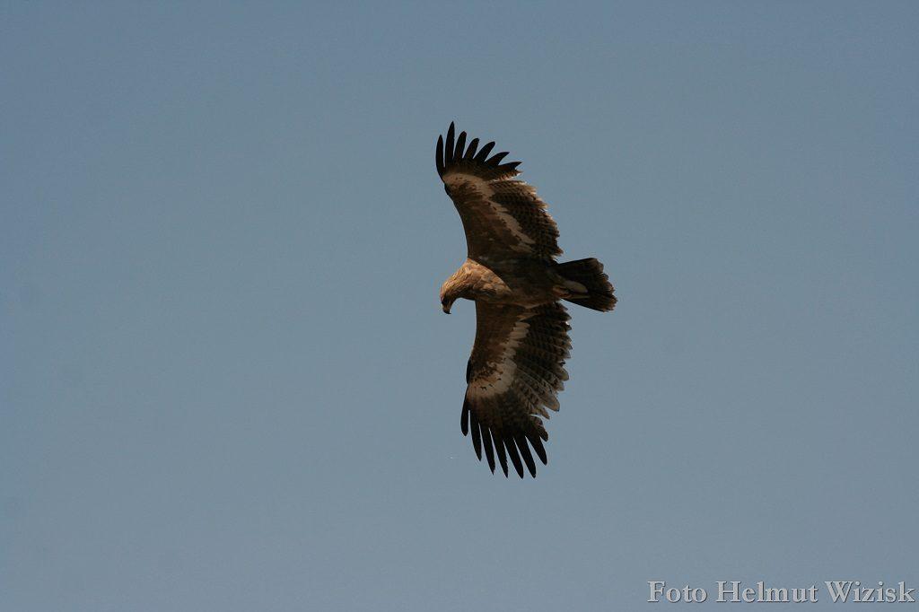 Steppenadler juv Binsar Wildlife Sanctuary