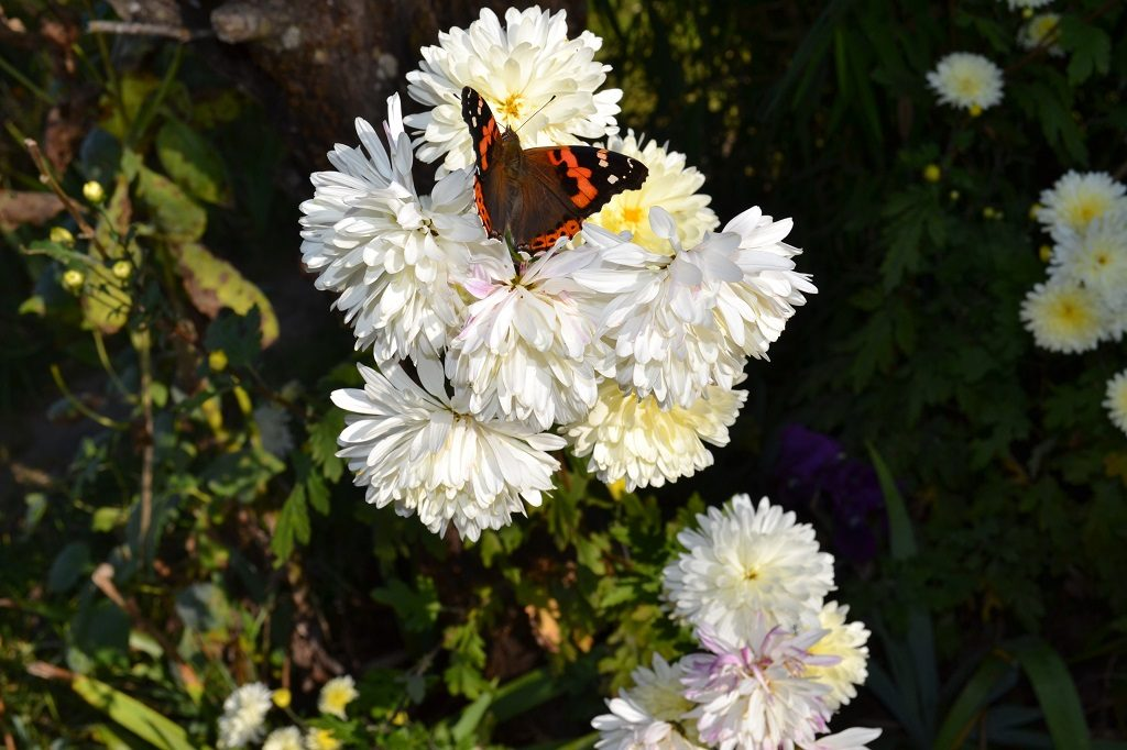 A wild butterfly on the white chrysanthemum flower at Binsar wildlife sanctuary