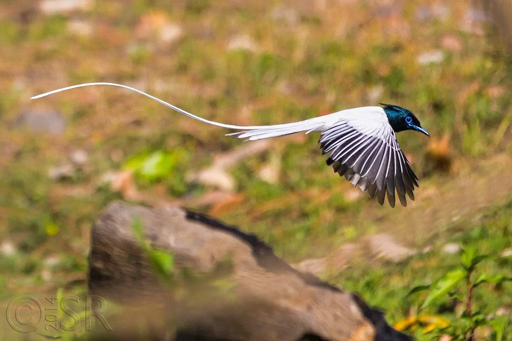 Asian Paradise Flycatcher Kilbury bird sanctuary pangot, Nainital Uttarakhand