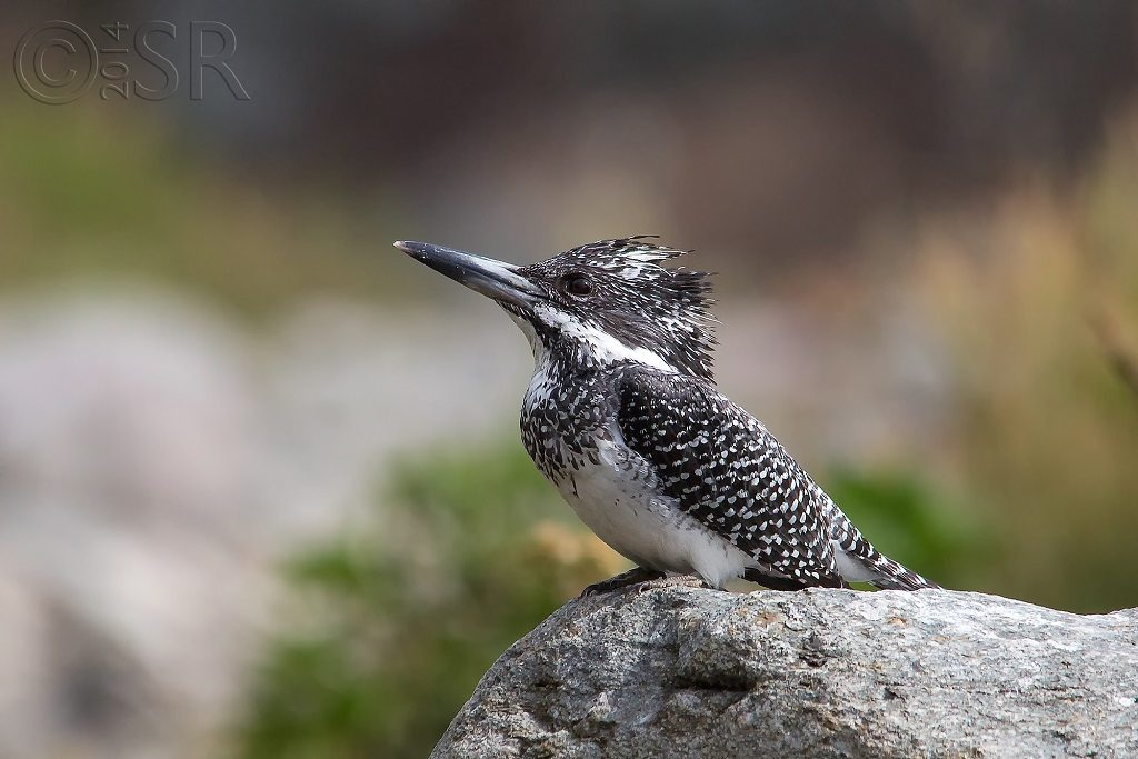 Crested Kingfisher - female Kilbury bird sanctuary pangot, Nainital Uttarakhand