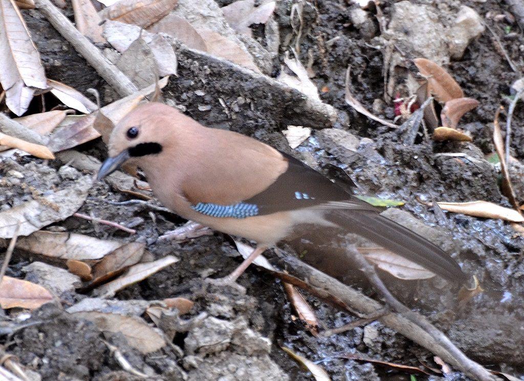Eurasian Jay Binsar Wildlife Sanctuary