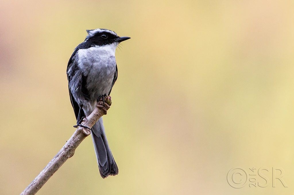 Grey Bush Chat Kilbury bird sanctuary pangot, Nainital Uttarakhand