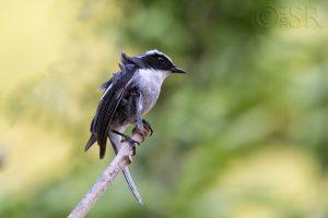 Utttarakhand Trip Trek:  Grey Bushchat Kilbury bird sanctuary pangot, Nainital Uttarakhand