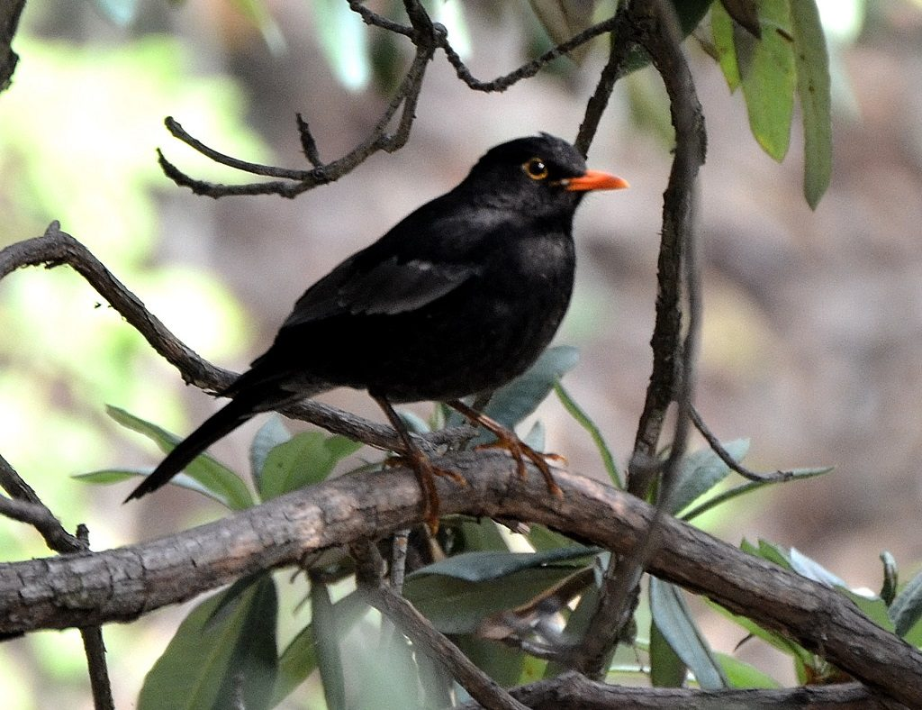 Grey winged black bird, Binsar Binsar Wildlife Sanctuary