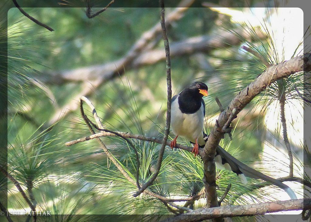 Red Billed Blue Magpie (Urocissa erythroyncha) on a Chir Pine Tree Binsar Wildlife Sanctuary