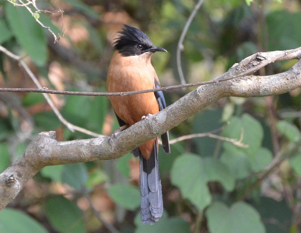 Rufus Sibia, Binsar, Binsar Wildlife Sanctuary Uttarakhand