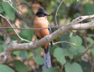 Utttarakhand Trip Trek:  Rufus Sibia, Binsar, Binsar Wildlife Sanctuary Uttarakhand