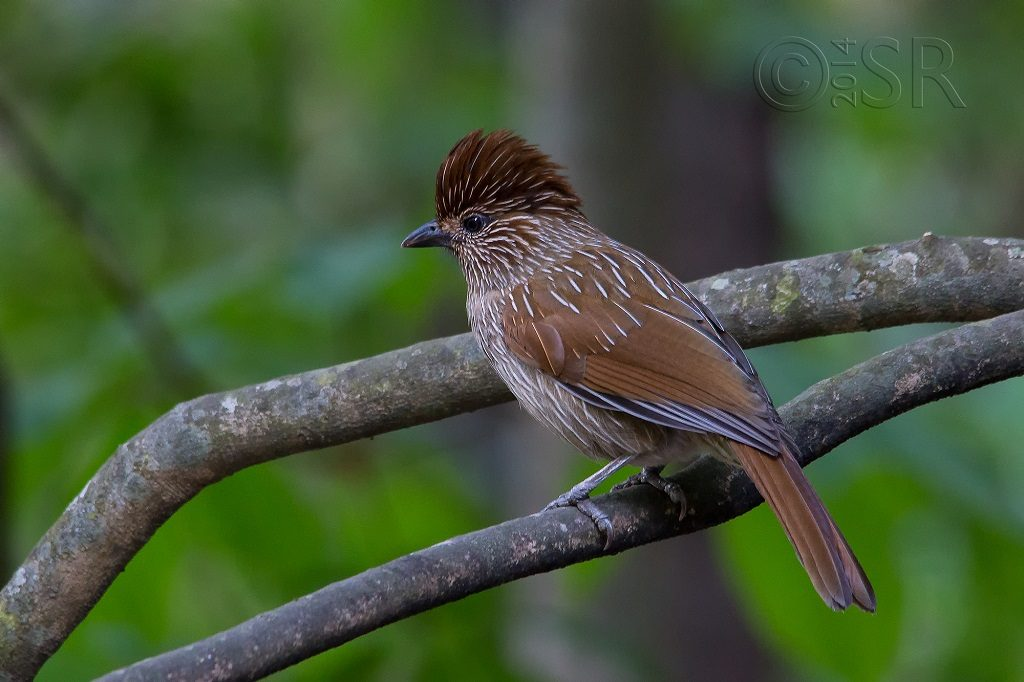 Striated Laughingthrush Garrulax striatus Kilbury bird sanctuary pangot, Nainital Uttarakhand