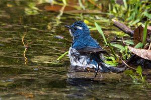 Utttarakhand Trip Trek:  Ultramarine Flycatcher Kilbury bird sanctuary pangot, Nainital Uttarakhand