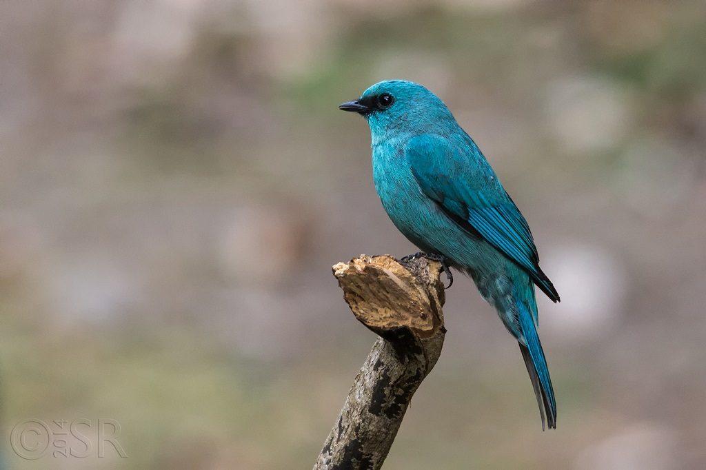 Verditer Flycatcher Kilbury bird sanctuary pangot, Nainital Uttarakhand