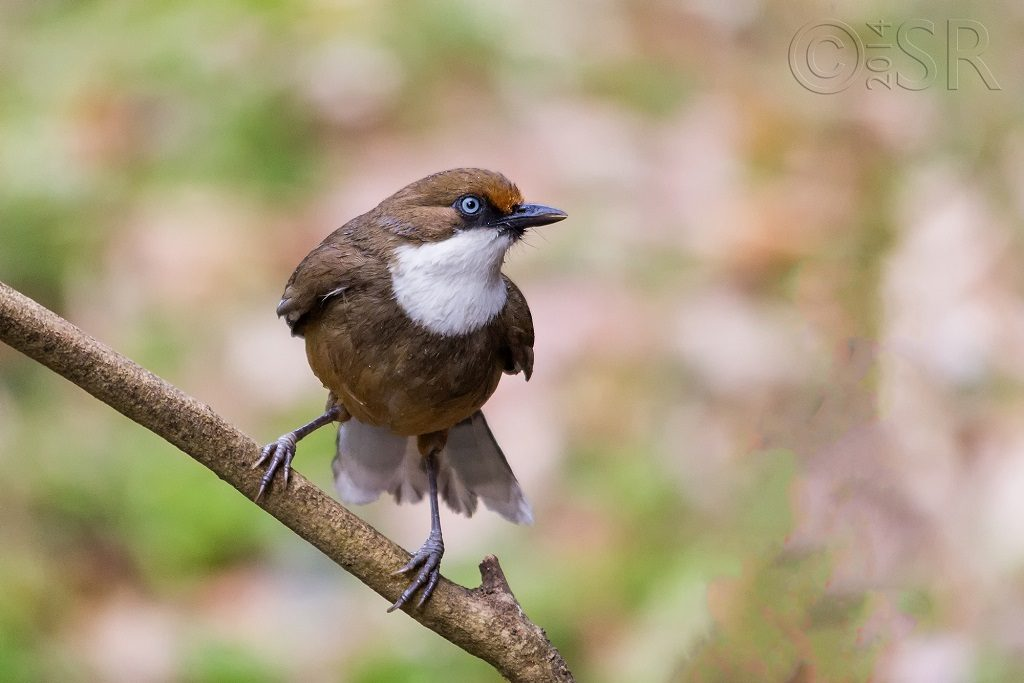 White-throated Laughing Thrush Kilbury bird sanctuary pangot, Nainital Uttarakhand